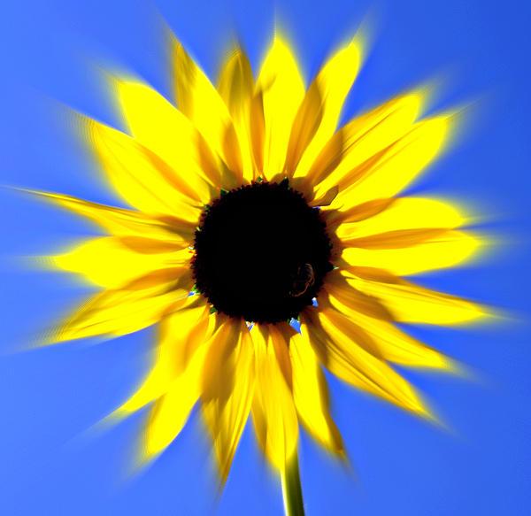 Sunflower Burst Print by Marty Koch