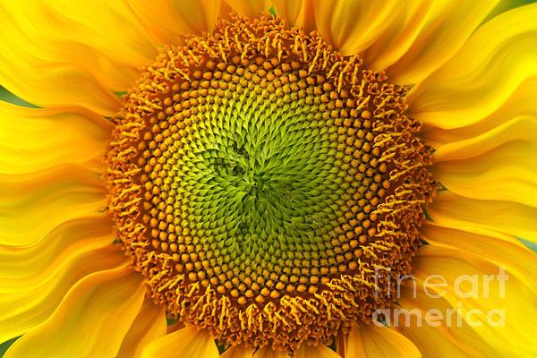 Sunflower Fantasy Print by Benanne Stiens