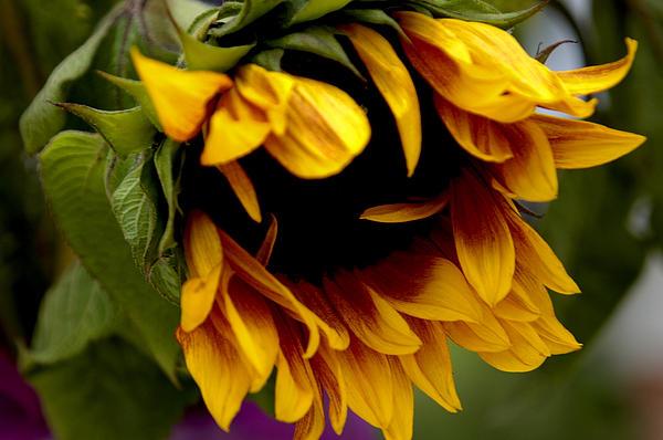 Sunflower Print by Jonathan Schreiber