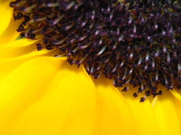 Kimberly Perry - Sunflower Macro