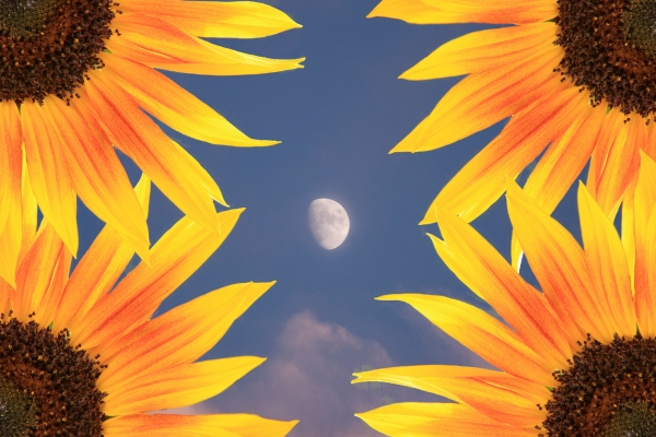Sunflower Moon Print by James BO  Insogna