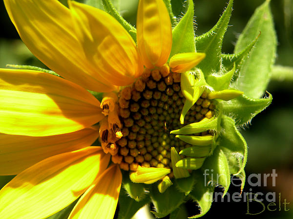 Sunflower No. 2 Print by Christine Belt