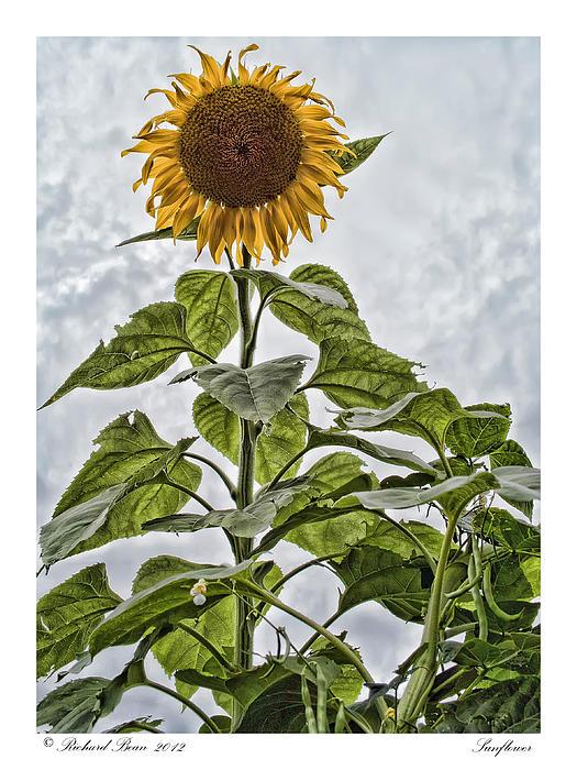 Richard Bean - Sunflower