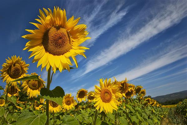 Pamela Steege - Sunflower Seranade