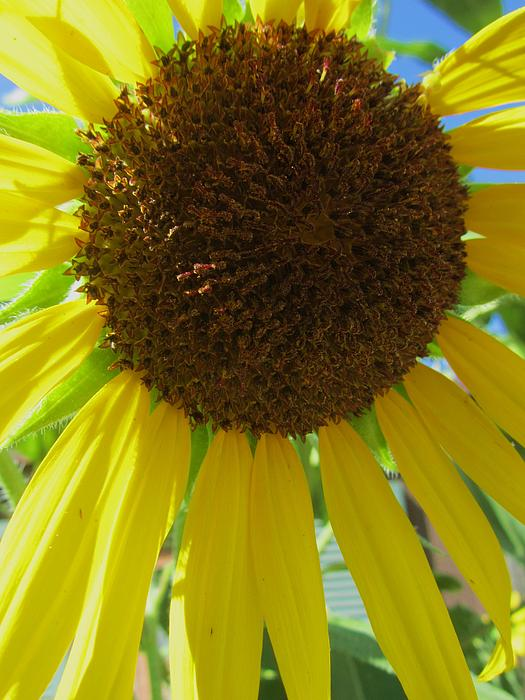 Sunflower-two Print by Todd Sherlock