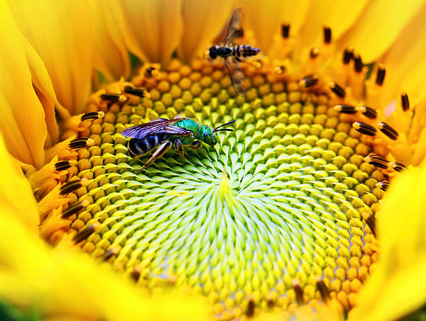 Brian Lee - Sunflower with Sweat Bee