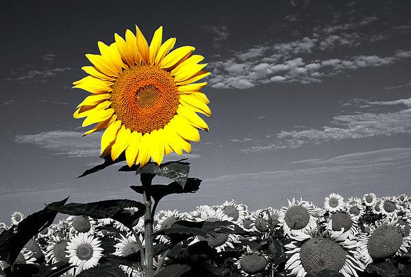 Sunflowers 1 Print by Sumit Mehndiratta