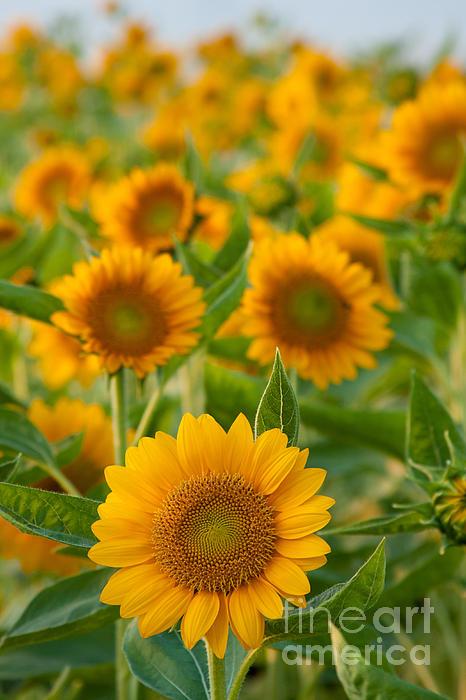 Sunflowers Print by Atiketta Sangasaeng