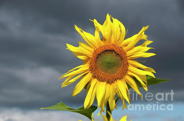Sunflowers Helianthus Annuus Print by Bernard Jaubert