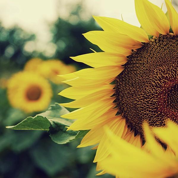 Sunflowers Print by Kirstin Mckee
