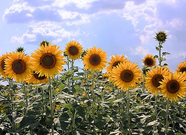 Kristin Elmquist - Sunflowers