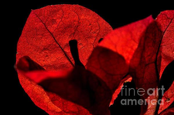 Sunlight Behind The Petals Print by Kaye Menner