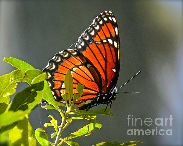 Sunlight Viceroy Print by Carol  Bradley