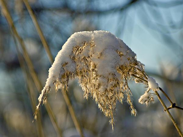 Sunny Day Snow Fall On The Bull Rushes Print by LeeAnn McLaneGoetz McLaneGoetzStudioLLCcom