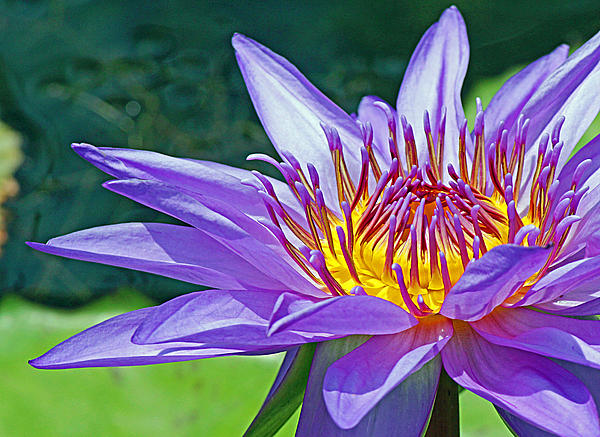 Sunny Purple Waterlily Print by Becky Lodes