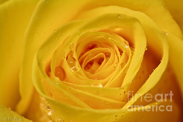 Tracy  Hall - Sunny Yellow Rose
