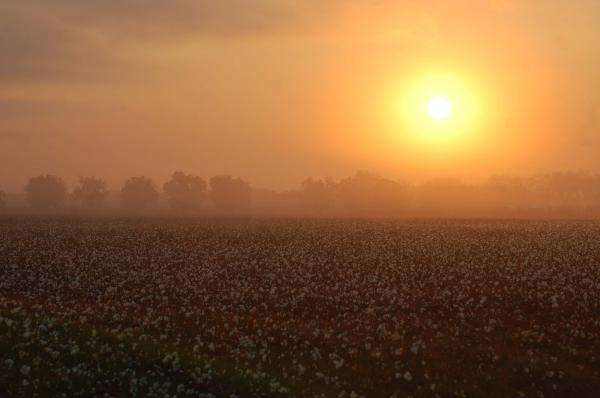 Sunrise And The Cotton Field Digital Art  - Sunrise And The Cotton Field Fine Art Print