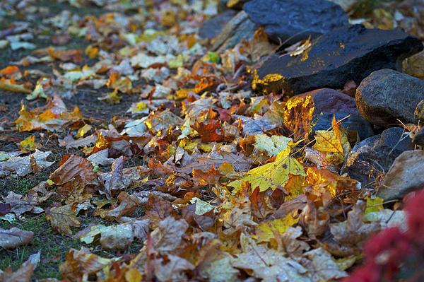 Elaine Mikkelstrup - Sunset Leaves