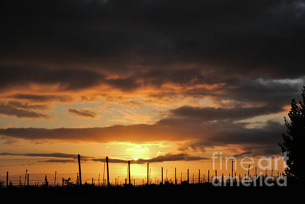 Sunset On The Vineyards Print by Nancy Chambers