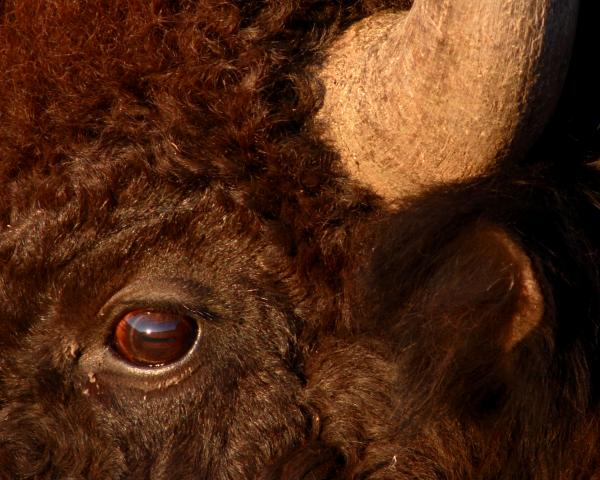 Sunset Reflections In The Eye Of A Buffalo Print by Max Allen