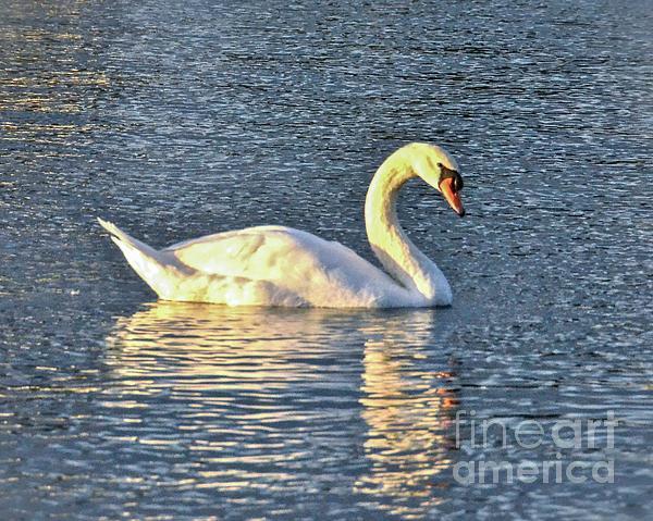 Carol  Bradley - Sunset Swan
