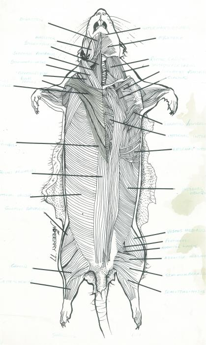 ... Cavity Of Rat Dissection Diagram. on rat dissection heart diagram