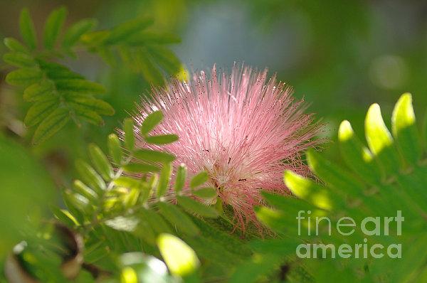 Edward Lee - Surinam Powder Puff flower