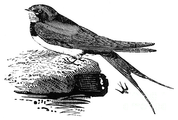 Swallow, C1800 Print by Granger