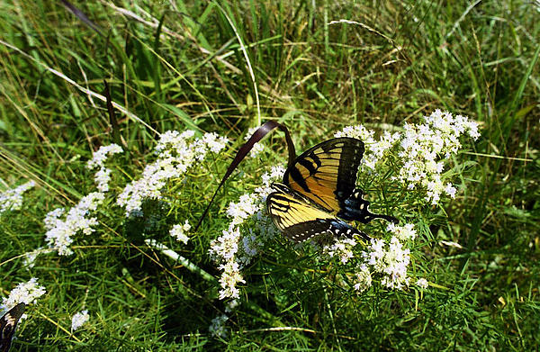Swallow Tail Print by Skip Willits