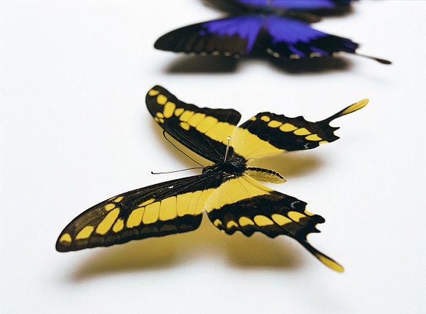 Swallowtail Butterflies Print by Lawrence Lawry