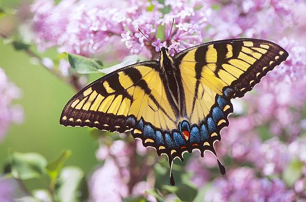 Bernard Lynch - Swallowtail Butterfly