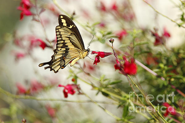 Susan Gary - Swallowtail Butterfly on Red Wildflowers