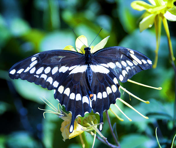 Diane Wood - Swallowtail