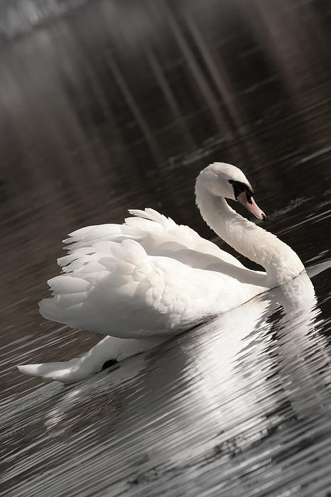 Swan 2 Print by Nan Schefcick