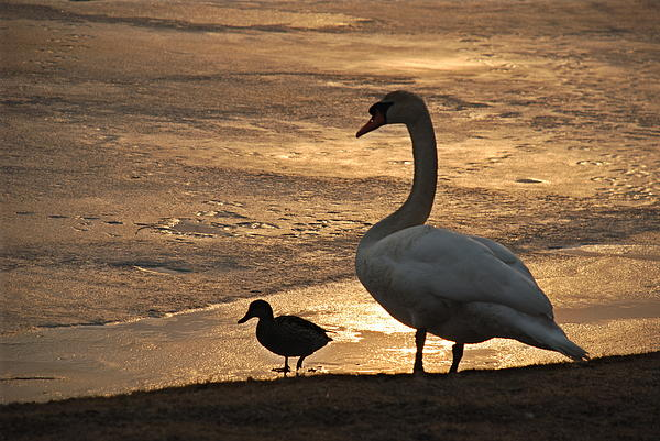 Richard Bryce and Family - Swan and Baby at Sunset