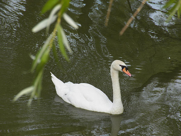 Swan Enjoying A Swim Print by Corinne Elizabeth Cowherd