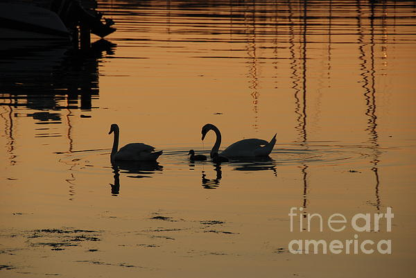 Camilla Brattemark - Swan family at sunset