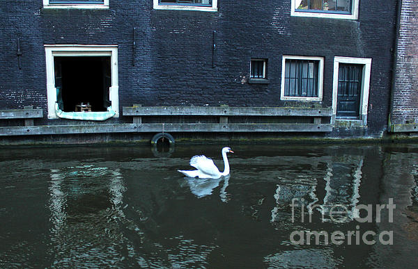 Swan In Amsterdam Canal Print by Gregory Dyer