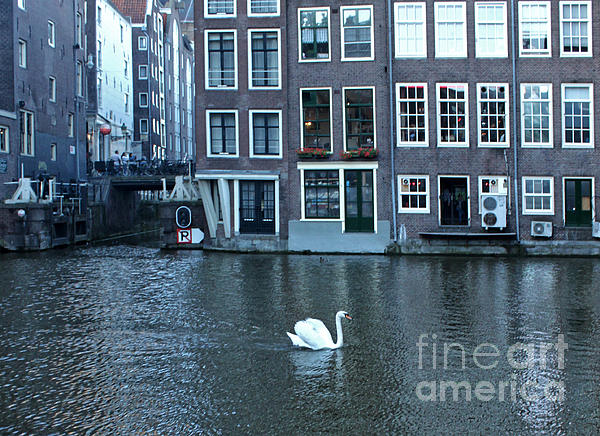 Swan In Amsterdam Print by Gregory Dyer