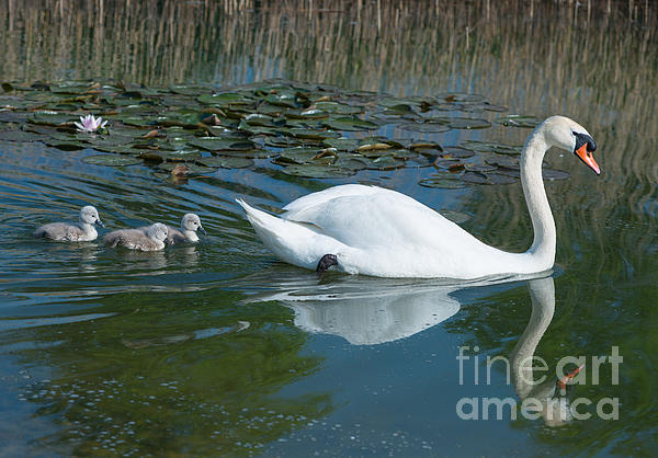 Swan With Cygnets Print by Andrew  Michael