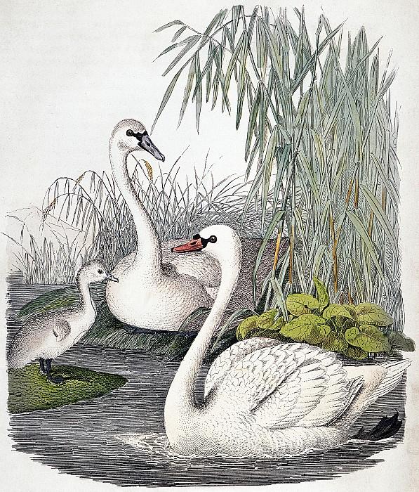 Swans, C1850 Print by Granger