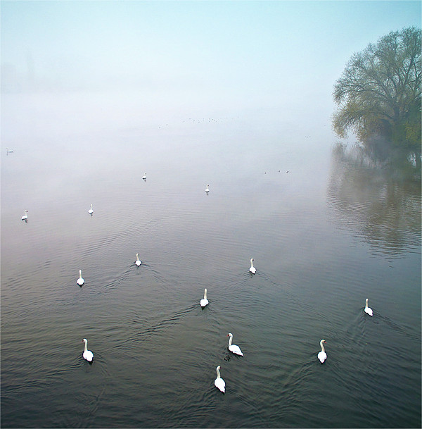 Swans In Log On River Neckar Print by Ulrich Mueller