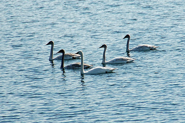 Swans Swimming Print by Aimee L Maher Photography and Art