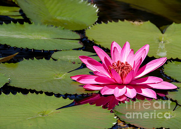 Sweet Pink Water Lily In The River Print by Sabrina L Ryan