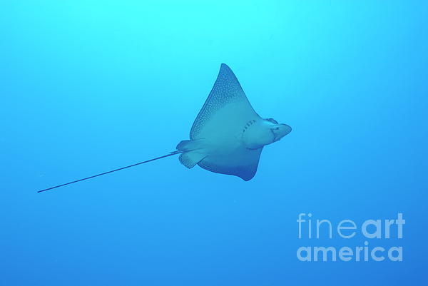 Swimming Spotted Eagle Rays Print by Sami Sarkis