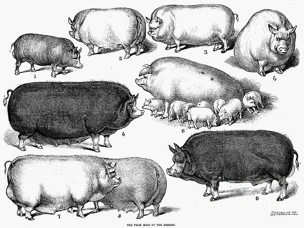 Swine, 1876 Print by Granger