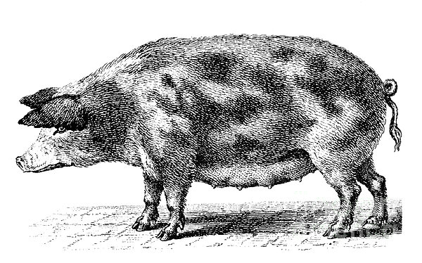Swine Print by Granger