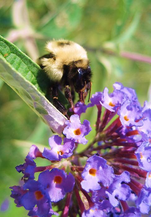 Cindy Corriveau - Symbiotic or Bee Buddleia