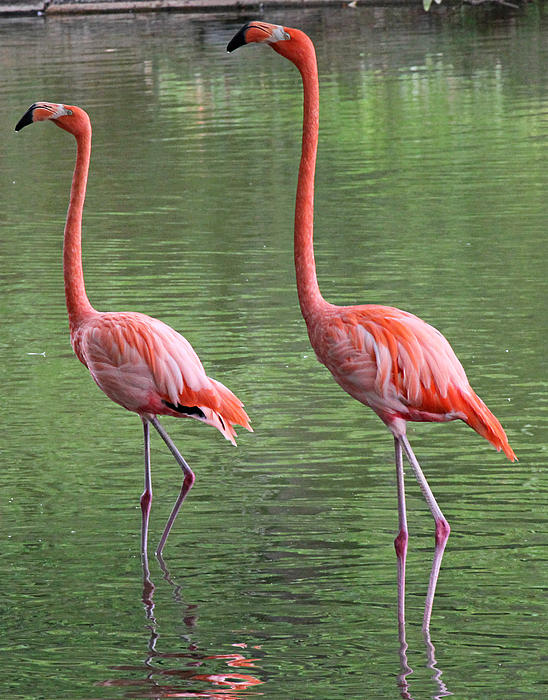 Synchronized Flamingos Print by Becky Lodes