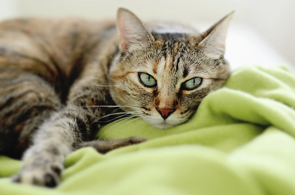 Tabby Cat On Green Blanket Print by Dhmig Photography
